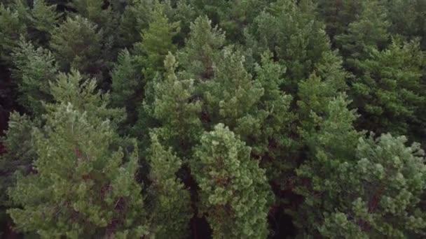 Légi felvétel a fenyőerdőről. Ökológia csodálatos vágy háttér