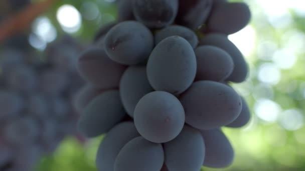 Fekete szőlőfürtök közelednek. Lassú mozgás.