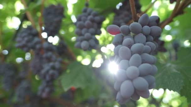 A nap sugarai a fekete szőlő fürtjein keresztül ragyognak. Lassú mozgás.