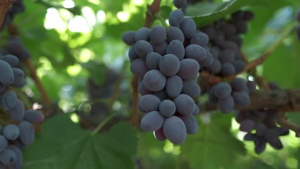 Bunches of black grapes close up. Slow motion