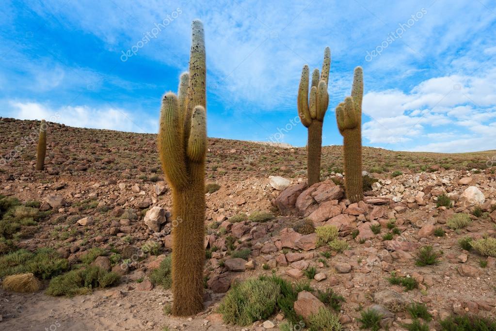 Fotos: cactus en el desierto   Cactus en el desierto ...