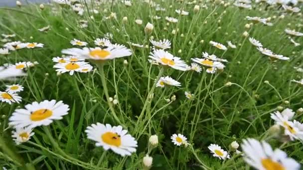 White daisy flowers field meadows or camomile. Walking through summer meadow, field of flowers, enjoying daisies, lupins and other wildflowers waving in the wind. Slow motion shot