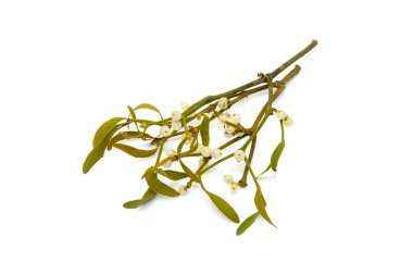 Bunch of mistletoe isolated on a white studio background. stock vector