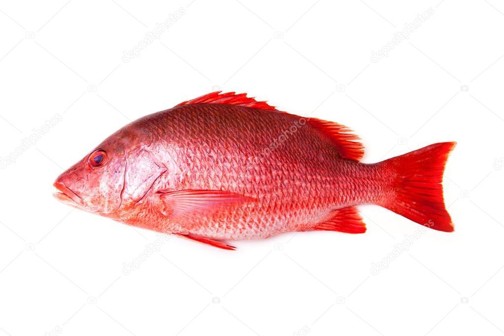 pescado pargo rojo aislado sobre fondo blanco de estudio