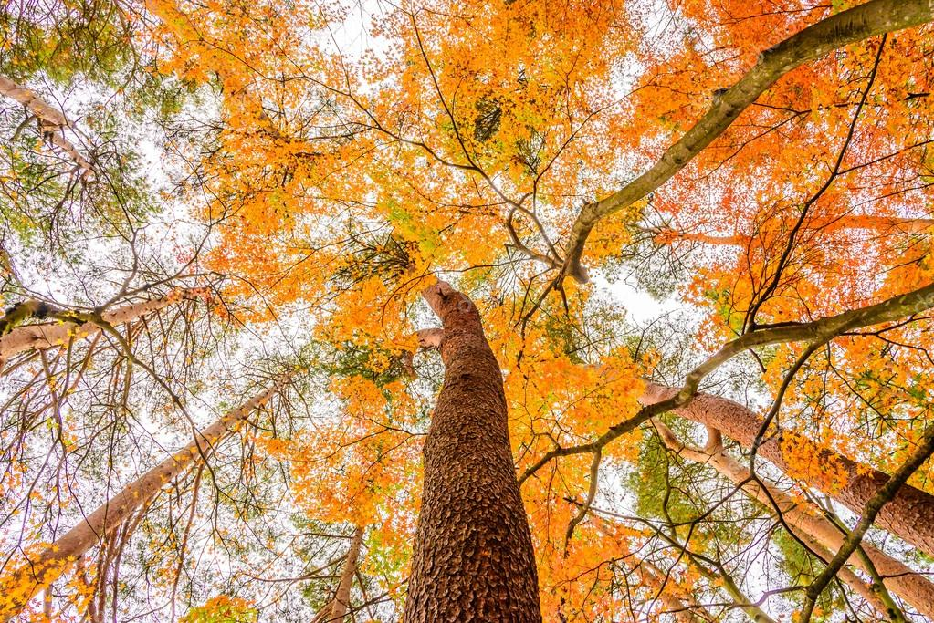 Ofange Maple tree