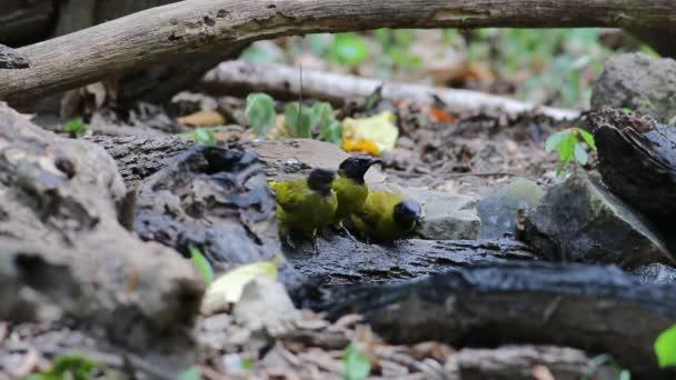 Feketefejű bülbül Pycnonotus atriceps madarak eszik a víz