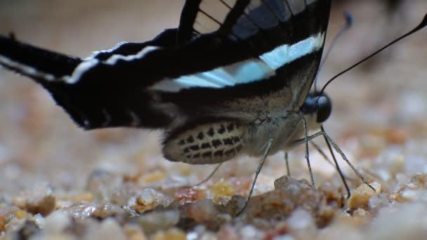Zelené Dragontail motýl Lamproptera meges detail močení