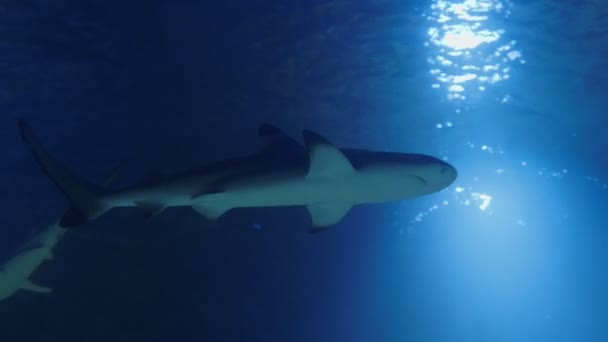 Cápa alulról. Víz alatti élet szürke cápákkal és úszással. Búvárkodás a tiszta vízben - közelről