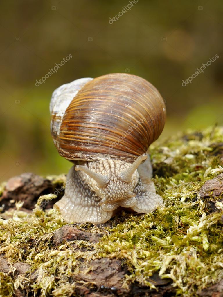 Snails on moss — Stock Photo © Pettys #71768381