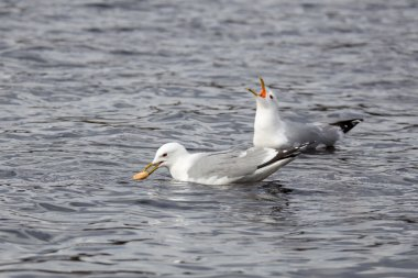 Seagull with bagel