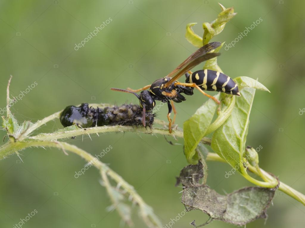 Wasps - Polistes biglumis