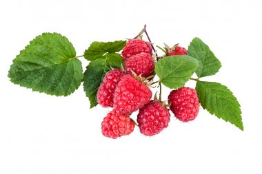 Fresh raspberry branch with ripe berries isolated on white.