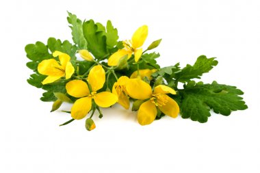 Chelidonium or greater celandine homeopathic plant
