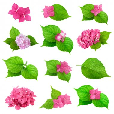 Colldection of Green Leaf and Spring Flower of Hydrangea Plant