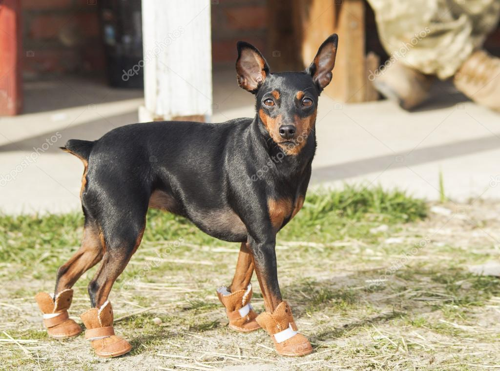 black brown dog