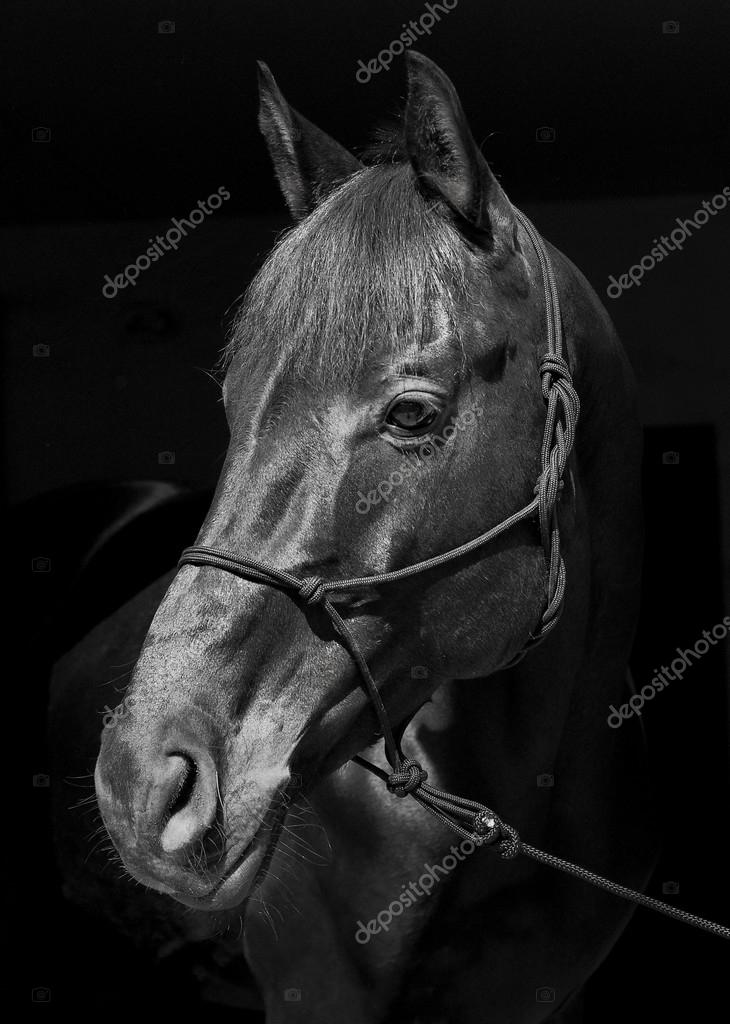 Black Horse In A Halter And A Dark Mane And A White Blaze On His Head On A Black Background Stock Photo C Nataliazh008 123283944