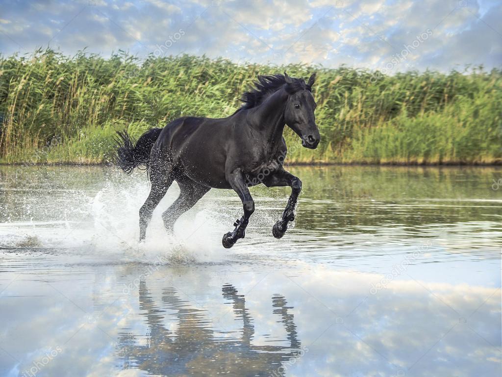 Black Horse Running Stock Photo C Nataliazh008 97678802