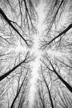 forest  trees in black and white