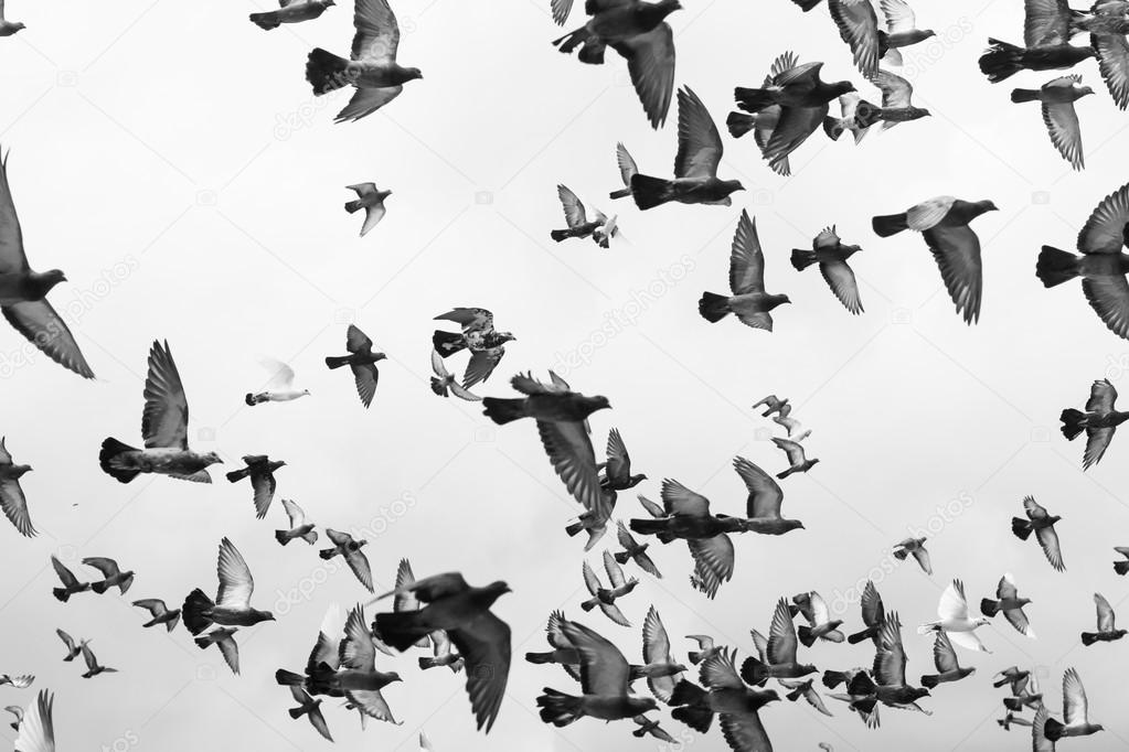 Black and white Masses Pigeons birds flying in the sky
