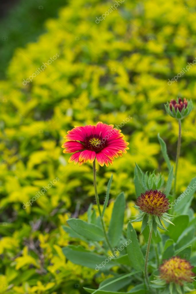 Gaillardia Pulchella Flower In Gardent On Green Background U2014 Stock Photo