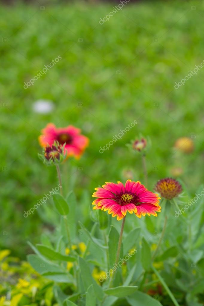 Gaillardia Pulchella Flower In Gardent U2014 Stock Photo