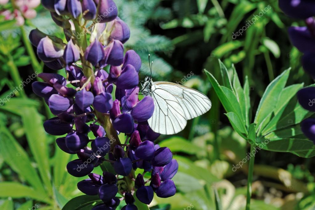 Weiße Motte an der lupine lila Blüte — Stockfoto © Inverseman #66427545