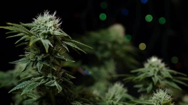 Cannabis-Pflanze wächst. Verschwommene bunte Lichter. Anbau von Marihuana