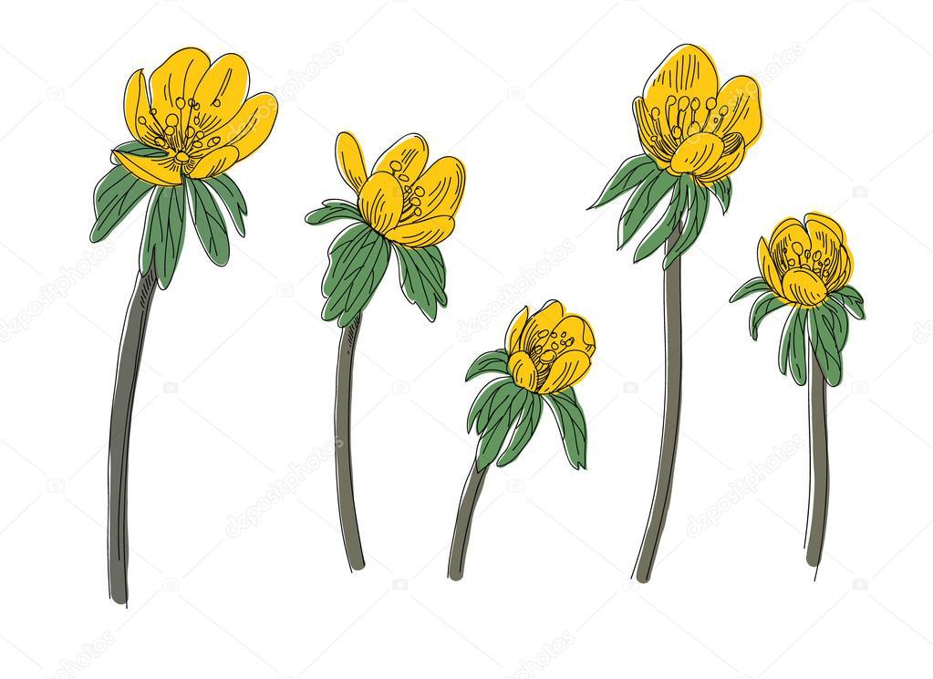 Eranthis flowers set. Hand drawn vector illustration