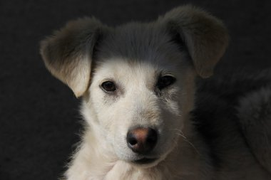 Sad Puppy Dog Close-Up