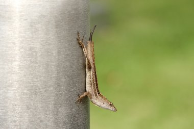 Lizard Without Tale