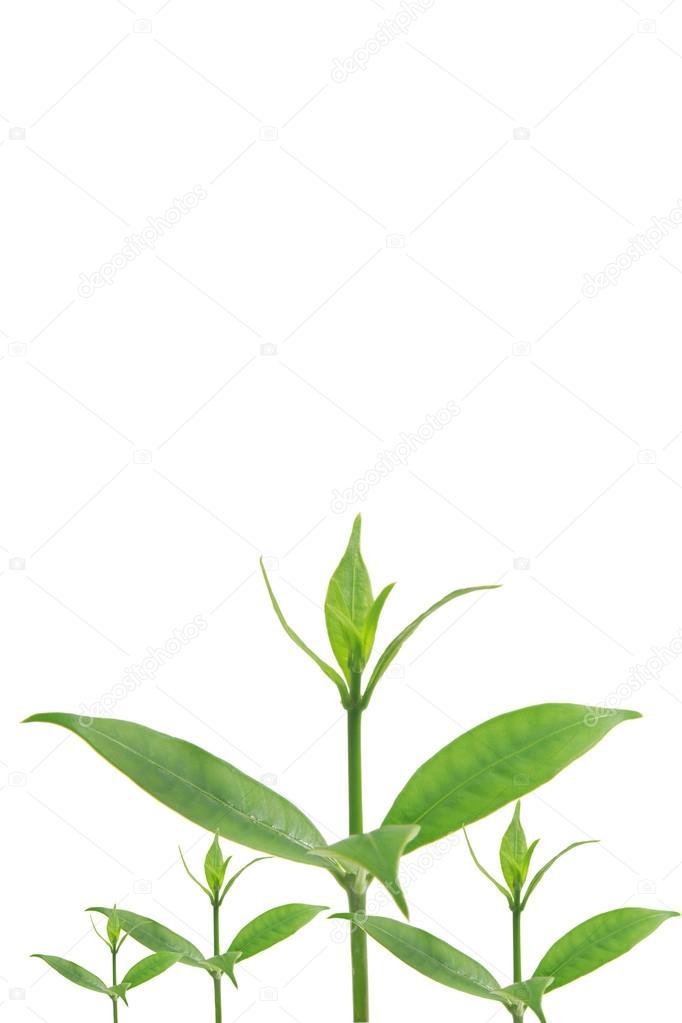 hojas de color verde sobre fondo blanco — Fotos de Stock © janonkas ...