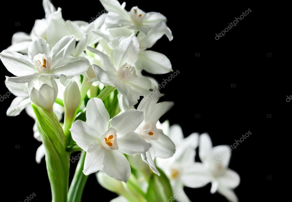 Bouquet of White Paperwhite Narcissus Flowers — Stock Photo ...