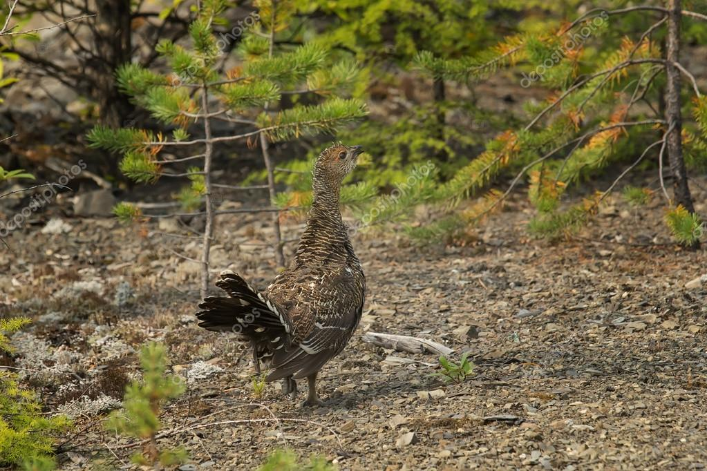 young capercaillie