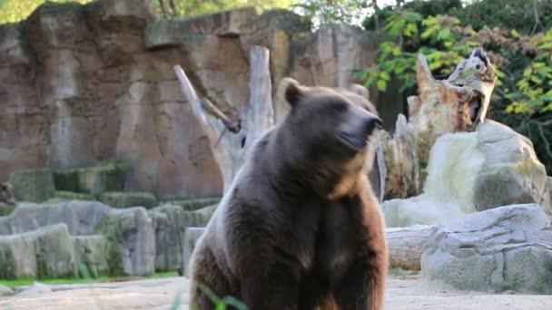 medvěd hnědý hledá potravu v Madridu zoo