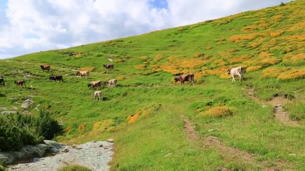 Cows in the mountain fields in Spain