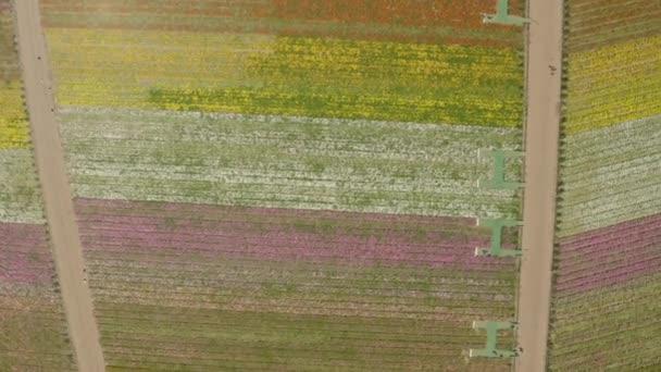 Letecké, bezpilotní záběry kvetoucích květinových polí v Karlovarské Kalifornii