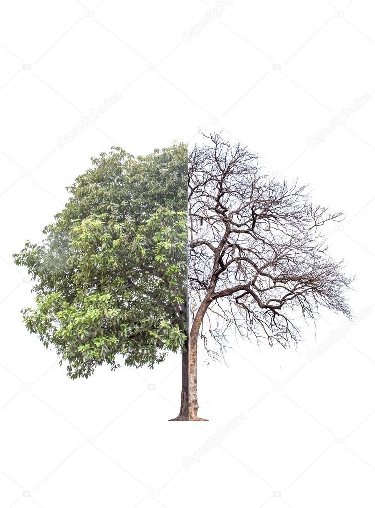 El árbol fue quemado a la muerte en la mitad y la otra ...