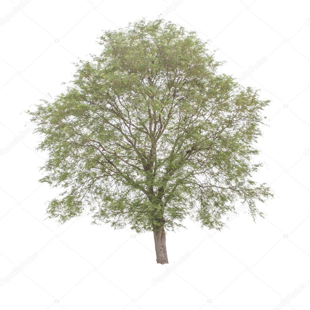 Tamarind tree (Tamarindus indica) tropical tree in the northeast