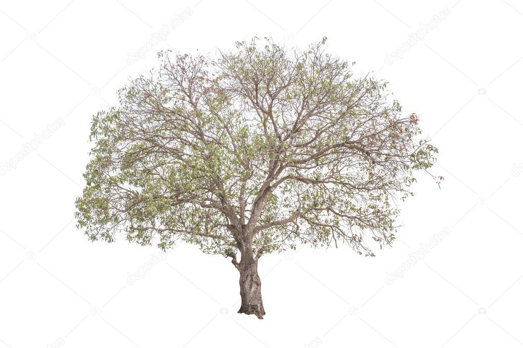 Mango tree rainless, Isolated on white background