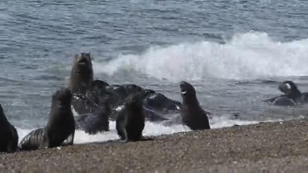 Oroszlánfóka pecsét Patagonia Beach
