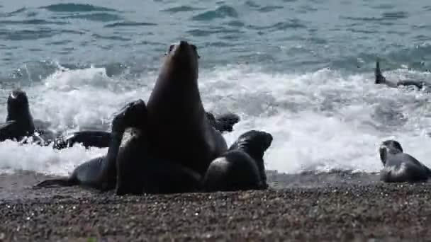 Sea lion seal in Patagonia beach
