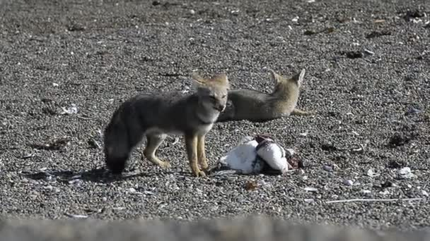 grey fox eating a penguin