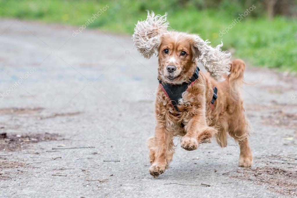 Happy Puppy Dog Running To You Stock Photo C Izanbar 104725906