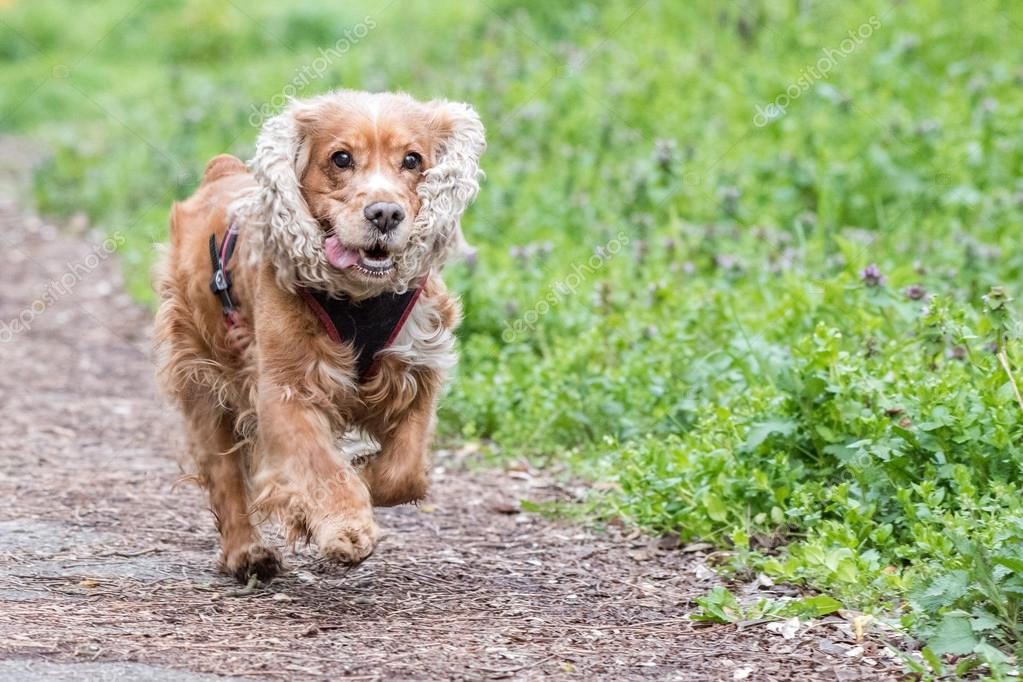 Happy Puppy Dog Running To You Stock Photo C Izanbar 104725958
