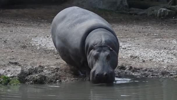 Nilpferd-Hyppopotamus aus nächster Nähe