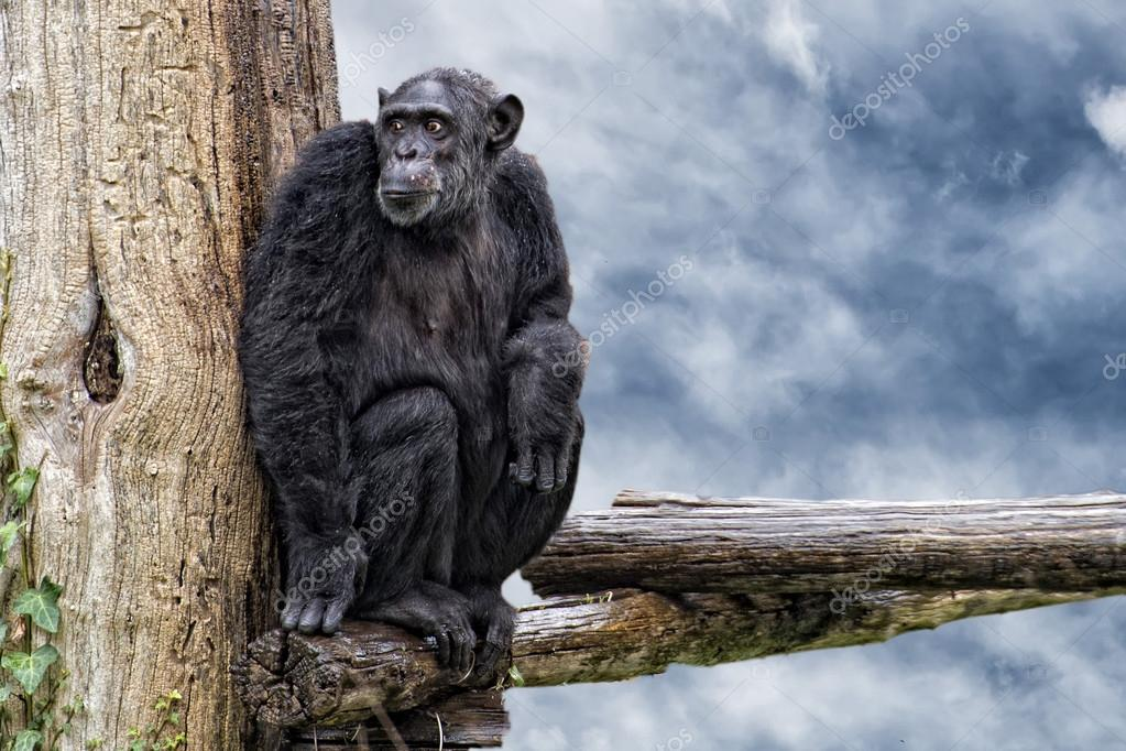 Ape Chimpanzee Monkey Looking At You Photo By Izanbar