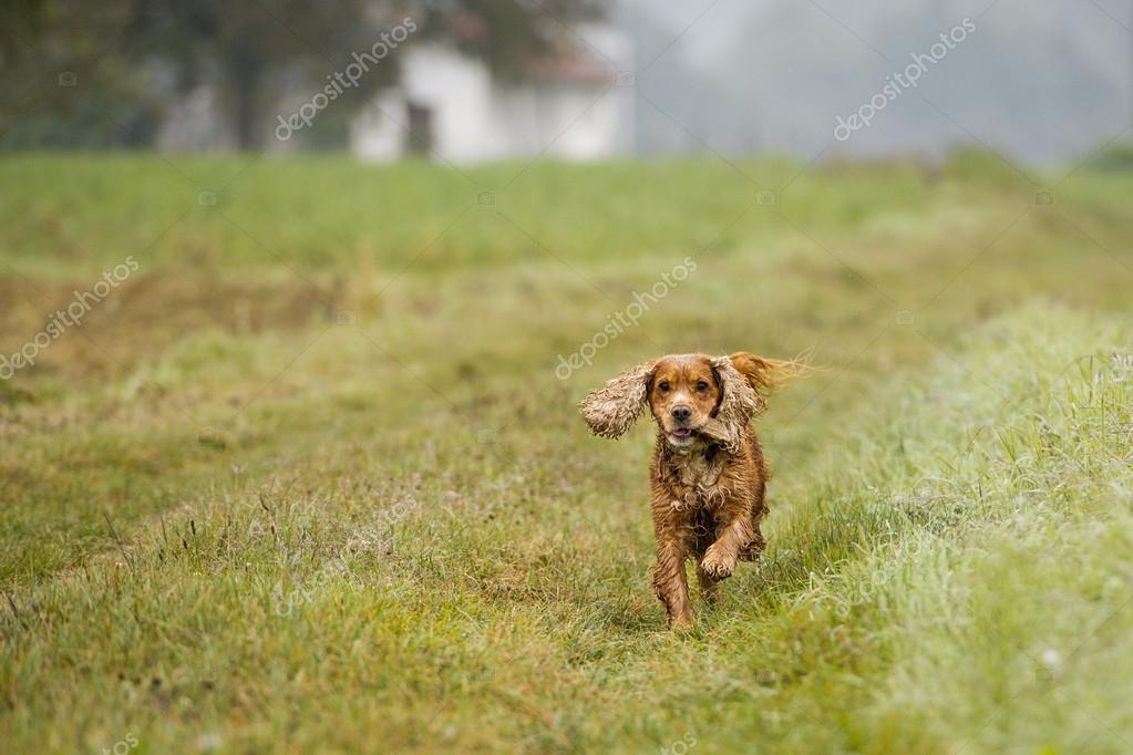 Happy Puppy Dog Running To You In Autumn Countryside Stock Photo
