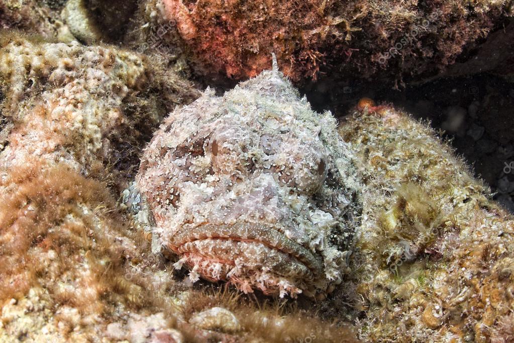 https://st2.depositphotos.com/1902695/6265/i/950/depositphotos_62650639-stock-photo-dangerous-stone-fish-portrait.jpg