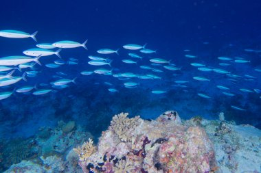Maldives corals house for Fishes