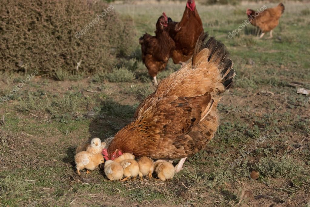 galinha chocando e filhotes em um farm stock photo izanbar 73310641